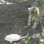 Смелая мышь, трусливый кот