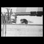 Антарктические кошки