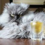 Полковник Мяу — самый пушистый кот планеты