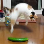 Стоит ли пугать кошек огурцами?