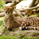 Гепарды - самые быстрые кошки планеты
